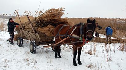 Eco Training Center reed harvesting 3